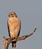Kevin T Karlson Fieldtrip Leader - Red-shouldered Hawk