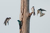 Robert Amoruso Fieldtrip - Tree Swallows