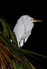 Robert Amoruso Fieldtrip - Great Egret taken using a flash