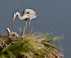 Kevin T Karlson Fieldtrip Leader - Great Blue, Heron bringing nesting material into the nest