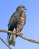 Boat Ramp off Road 16 at Lake Jackson - Male Juvenile Snail Kite photo with an added blue sky