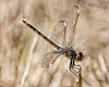 This photo was take around the tower off of Road 16 at Three Lakes (The Prairie Lakes Unit) - Libelluloidea