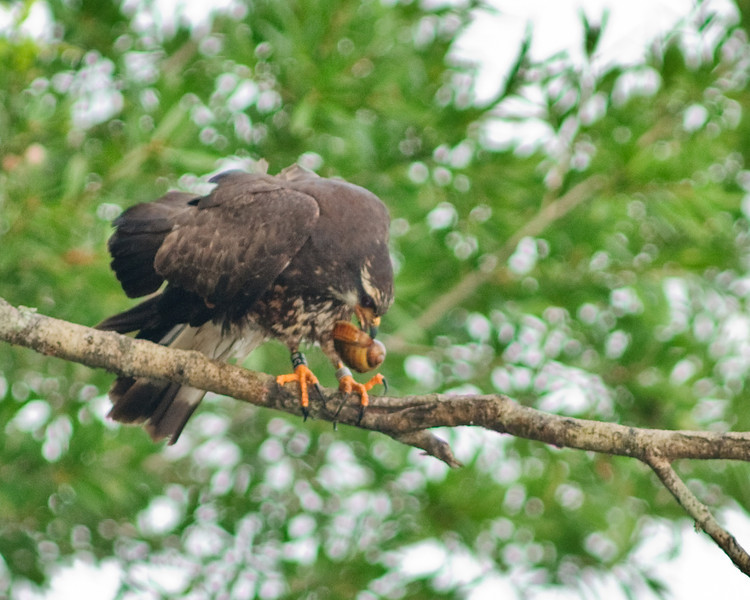 Boat Ramp off Road 16 at Lake Jackson - Male Juvenile Snail Kite with Apple Snail