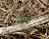 This photo was take around the tower off of Road 16 at Three Lakes (The Prairie Lakes Unit) - Female Eastern Pondhawk Dragonfly, (Erythemis simplicicollis)
