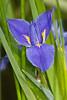 Anglepod Blue Flag - Prairie Iris