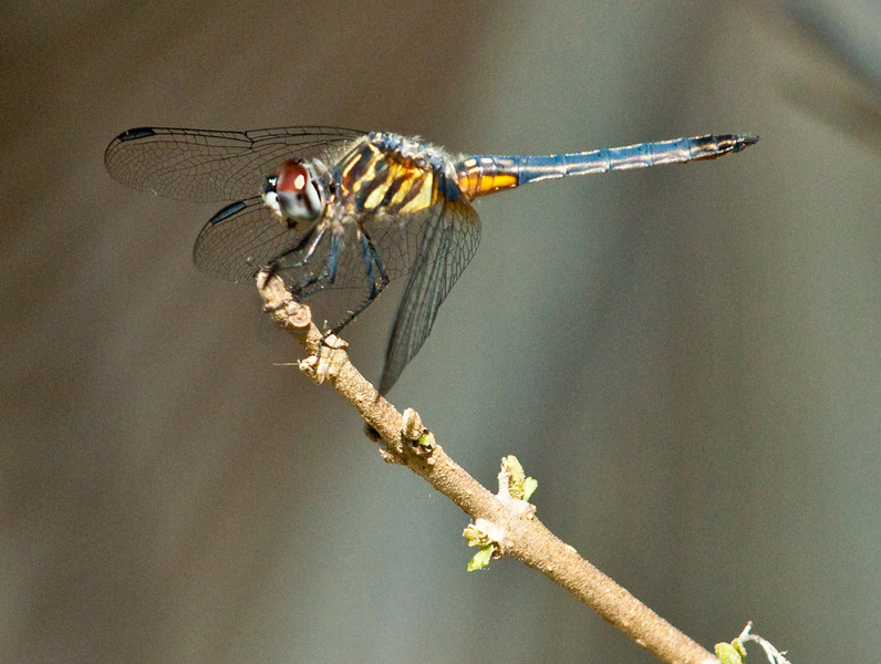 Female Blue Dasher Dragonfly - Pachydiplax longipennis