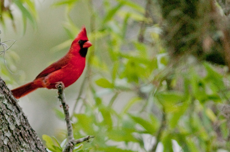 Male Northern Cardinal - The only bird I photographed that day believe it or not!