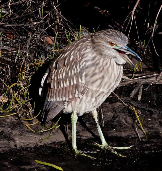 • Black Point Drive<br /> • Black-crowned Night-Heron