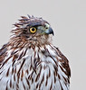 This is a Cooper's Hawk sitting on our back fence whom I took during some light rain in my backyard. I set my camera up inside my house and opened the sliding glass door to take this photograph.