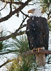 •  Rt 16 in Prairie Lake<br /> •  Bald Eagle sitting to its nest