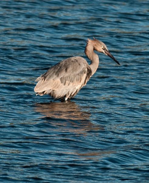 • Black Point Drive<br /> • Reddish Egret