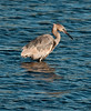 • Black Point Drive<br /> • Reddish Egret