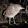 • Black Point Drive<br /> • Black-crowned Night-Heron