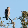 •  Rt 16 in Prairie Lake<br /> •  Red-shouldered Hawk