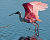 • Black Point Drive<br /> • Roseate Spoonbill