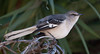 • Joe Overstreet Landing<br /> • Northern Mockingbird