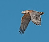 •  Rt 16 in Prairie Lake<br /> •  Red-shouldered Hawk in flight