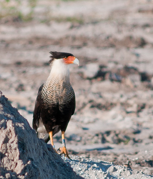 A Crested Caracara looking for its next meal.