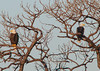 A pair of Bald Eagles just hanging in their favor tree