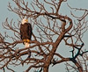 Bald Eagle just hanging in its favor tree