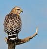 Red-shouldered Hawk looking for its next meal