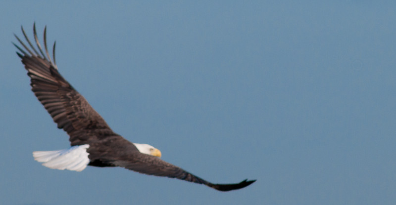 My attempt of photographing a Bald Eagle in flight.  Not very good!