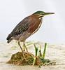 • Dan's Click Pond<br /> • Green Heron