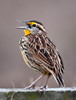 • Moccasin Island Tract parking lot<br /> • Eastern Meadowlark