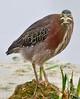 "• Dan's Click Pond<br /> • Green Heron - I'm looking ""At You"""