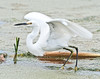 • Dan's Click Pond<br /> • Snowy Egret ready for take-off