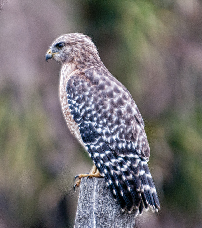 • On the road out of Moccasin Island Tract<br /> • I only chance to capture this Red-shouldered Hawk before it took off