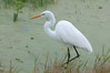 • Dan's Click Pond<br /> • Great Egret looking for a fish