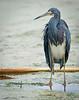 • Dan's Click Pond<br /> • Tricolored Heron