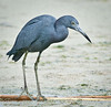 • Dan's Click Pond<br /> • Little Blue Heron