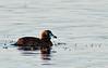 Viera Wetlands - Masked Duck
