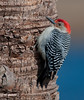 Viera Wetlands - Male Red-bellied Woodpecker