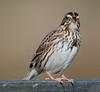 Moccasin Island Tract - Savannah Sparrow