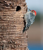 Viera Wetlands - Male Red-bellied Woodpecker