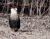 Viera Wetlands - Crested Caracara