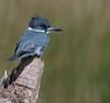 Viera Wetlands - Belted Kingfisher