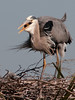 Great Blue Heron - I have almost swallow it
