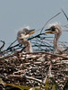 A little sparring between the Great Blue Heron chicks