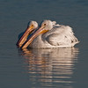 American White Pelican - Just give me a little more room so I can swim around by myself