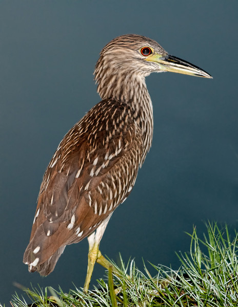Immature Black-crowned Night-Heron - Out for a morning stroll
