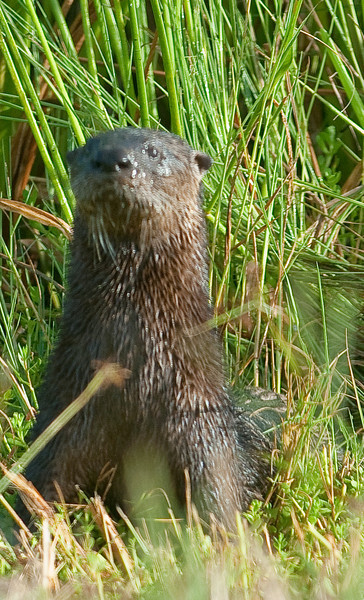 Northern River Otter - I can see you even those you stayed in the car