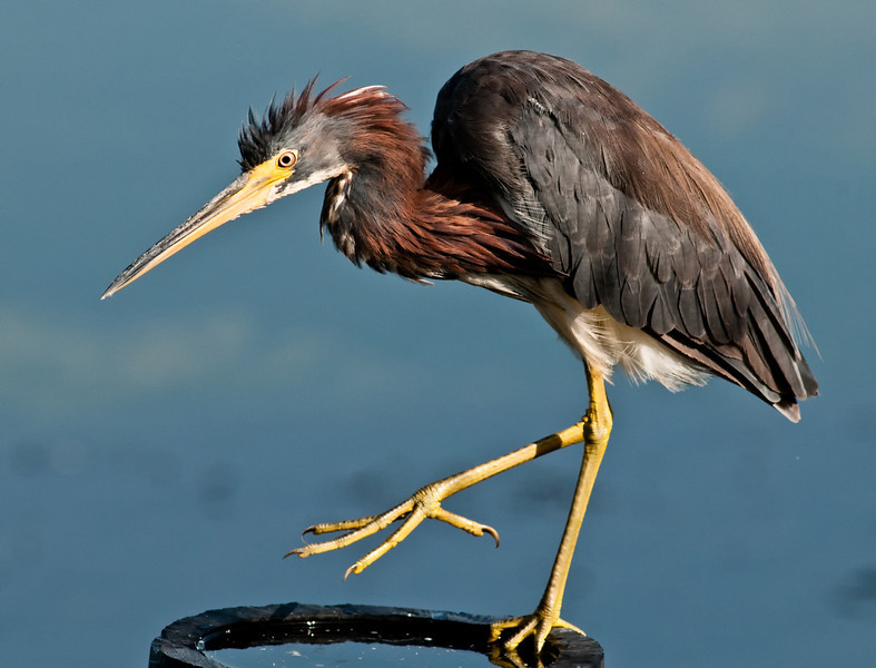 Juvenile Tricolored Heron - Give me four!