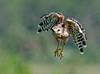Red-shouldered Hawk - You got to close, so I'm leaving
