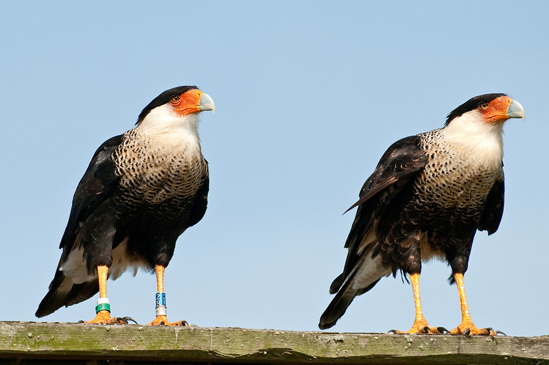 Pair of Crested Caracara - Looking left