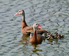 Black-Bellied Whistling Duck Family