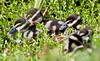 Black-Bellied Whistling Duck Babies